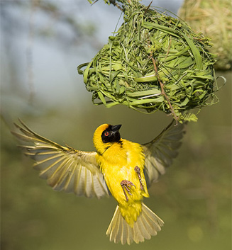 Weaver at work
