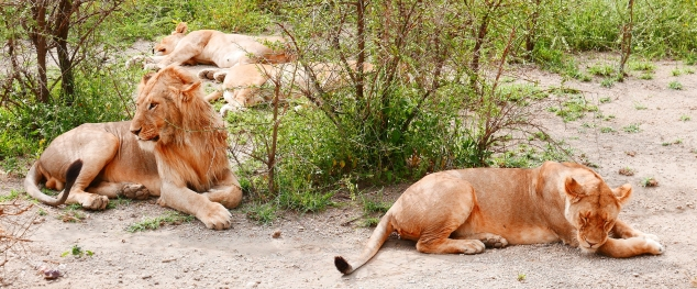 So many lions