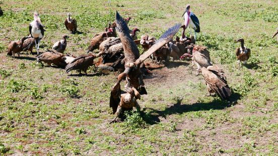 Vultures feeding 2