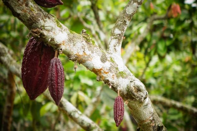 Coca nut