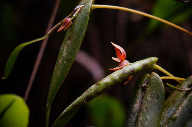 Amazon - smallest orchid